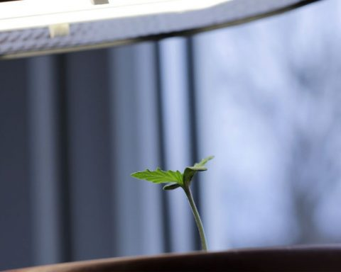 Young cannabis plant under a light