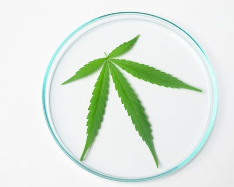 Cannabis on a glass plate