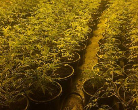 Infant cannabis plants in an illegal South Australian grow farm 1