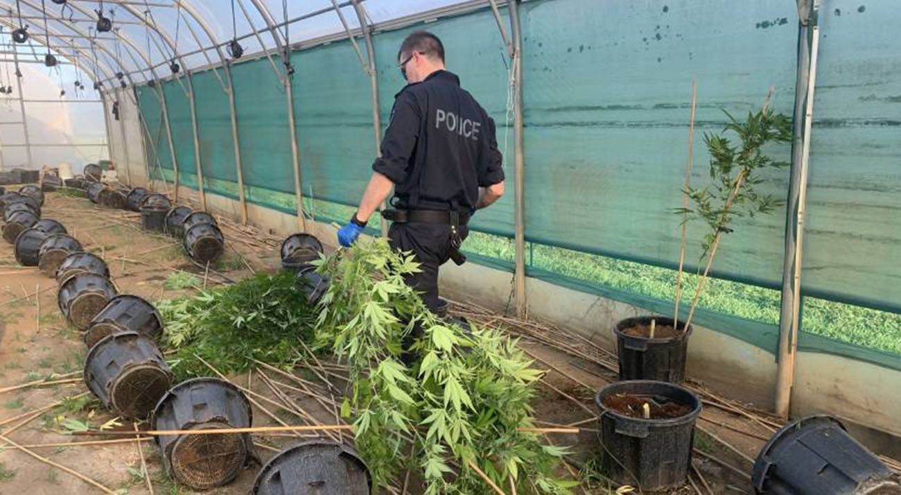 NSW police officer seizing illegally grown canabis
