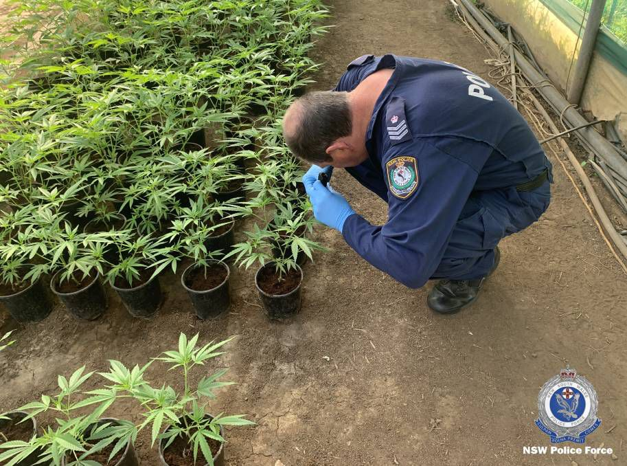 Officer inspecting small cannabis plants