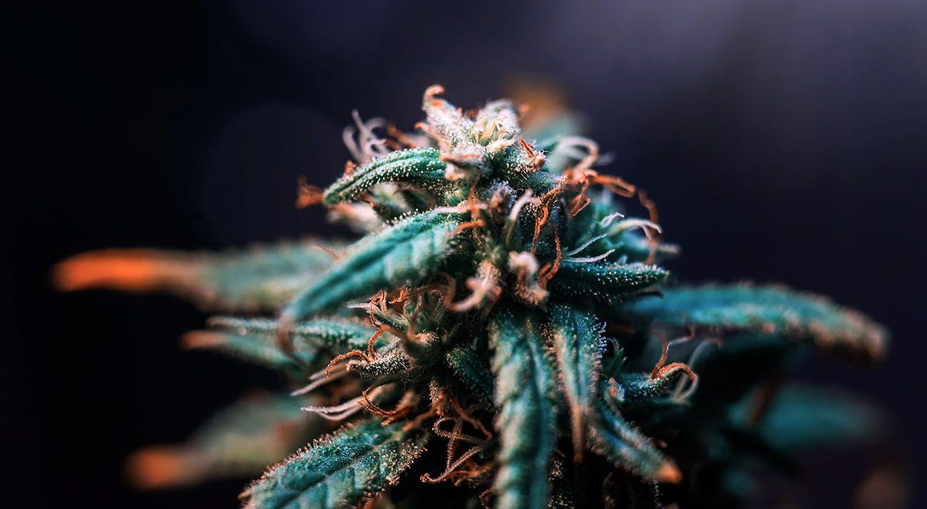 Dark cannabis flower with purple