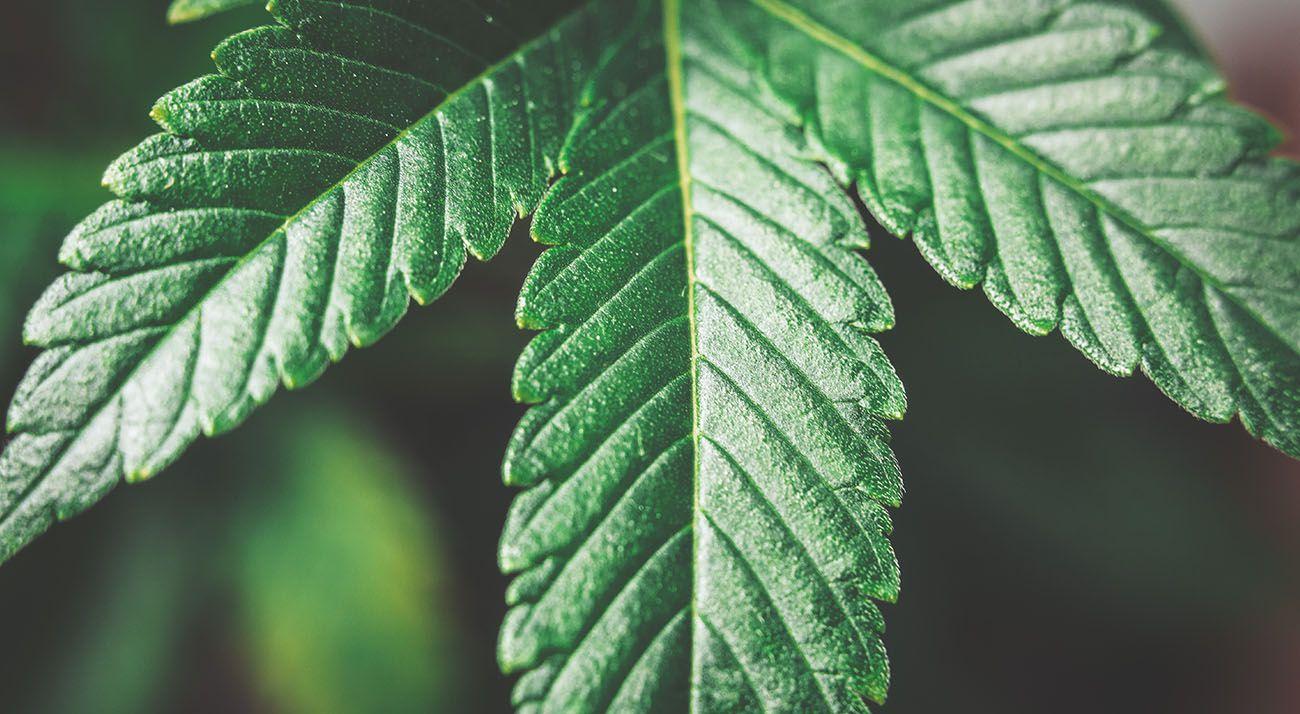 Dark green cannabis leaf