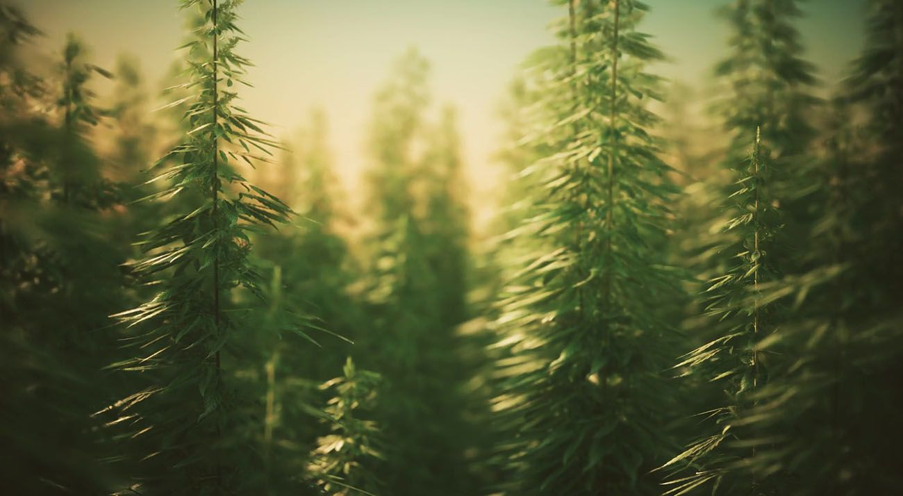 Hundreds of cannabis plants in a field