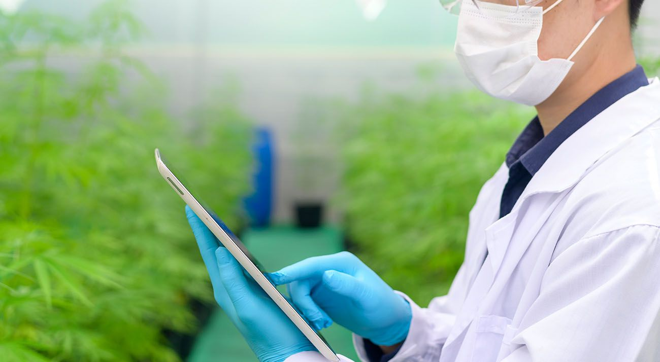 Scientist studying cannabis on an ipad