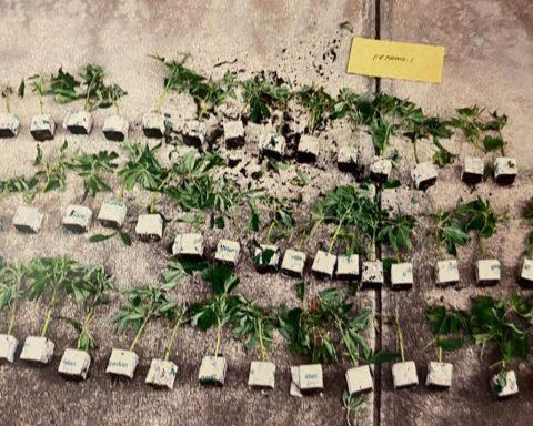 Young cannabis plants seized in SA raid
