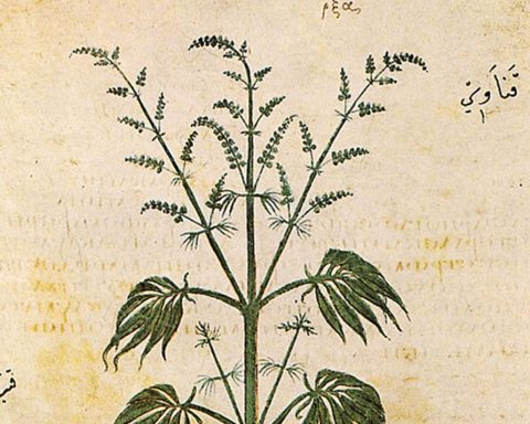 Cannabis Sativa depited in 512 AD