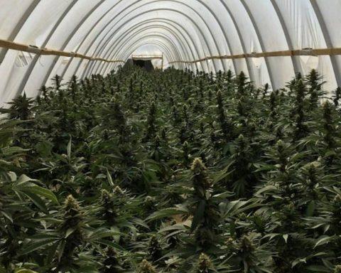 Cannabis farm in LA