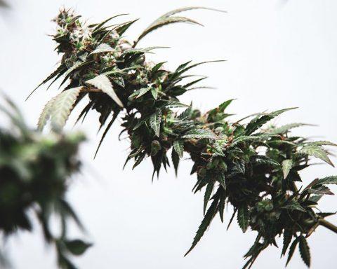 Cannabis flower bud