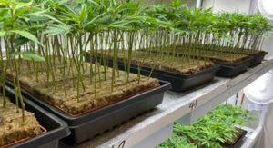Cannabis seedlings at CannaPacific