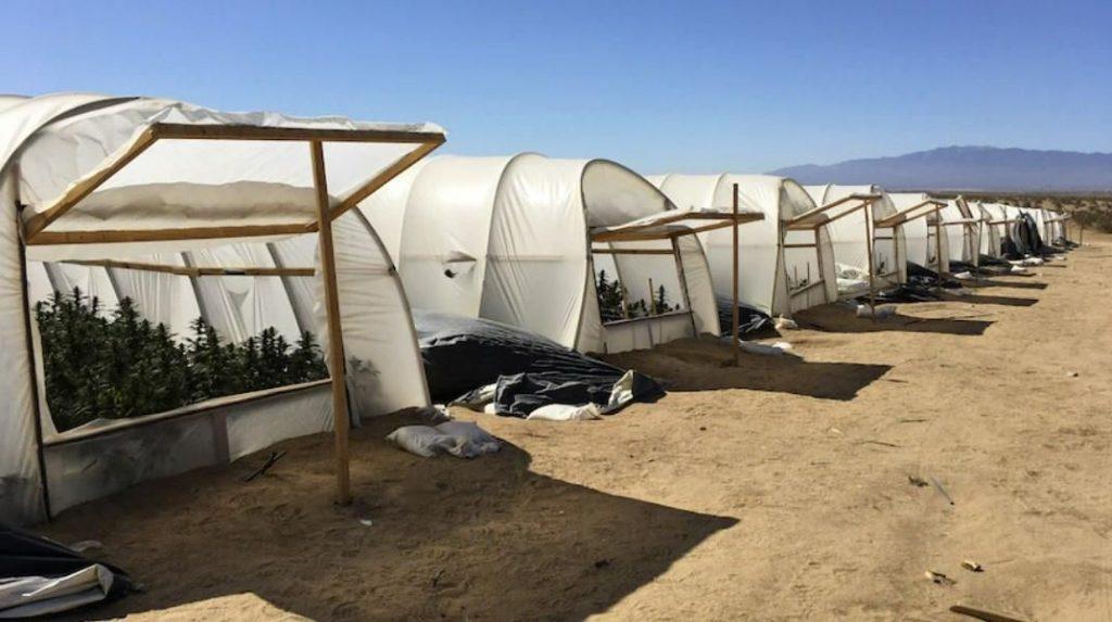 Rows of illegal cannabis farms in LA
