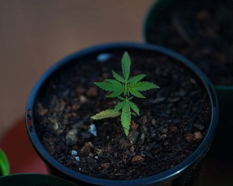 Small cannabis plant growing 1