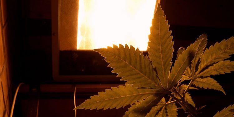 Cannabis growing under a UV light