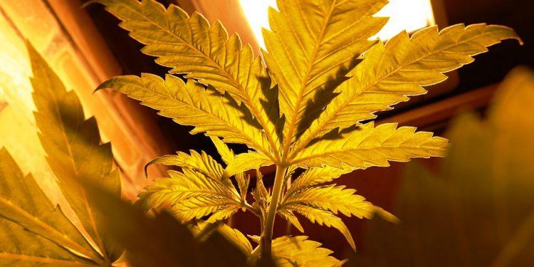 Cannabis under an orange light