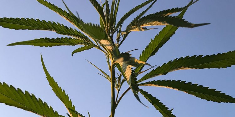 Hemp plant growing outdoors