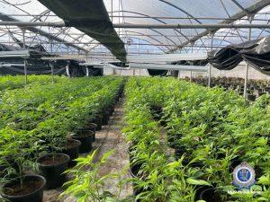 Illegal cannabis farm in NSW