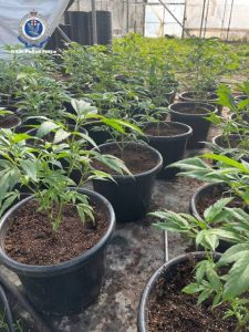 Rows of young cannabis plants in pots