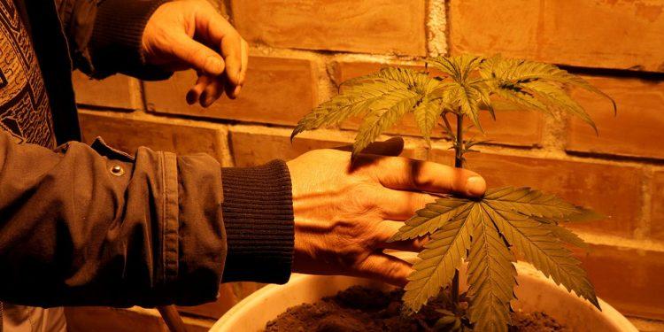 Tending a cannabis plant in illegal grow house