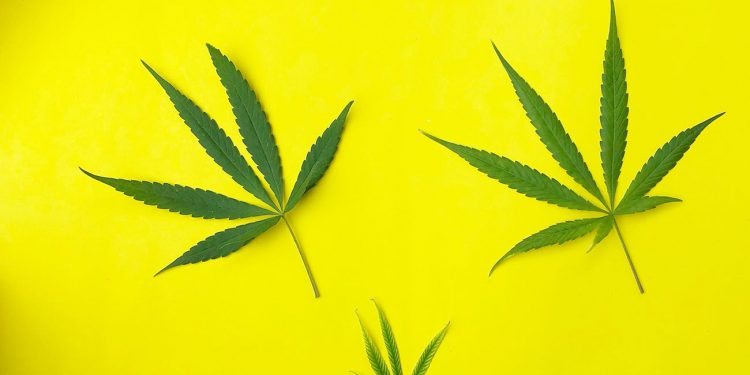 Three cannabis leaves on a yellow background