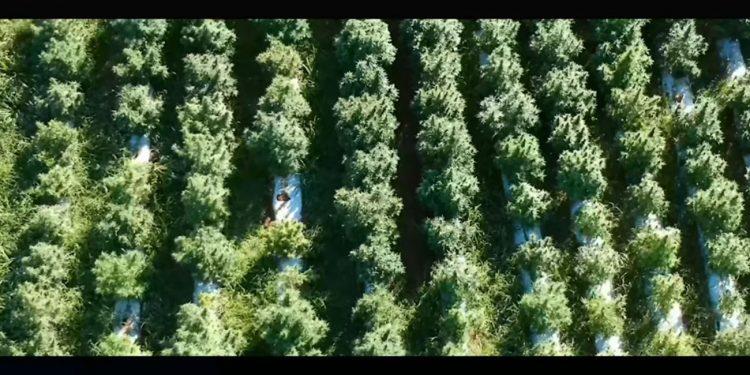 Aerial view of a hemp farm