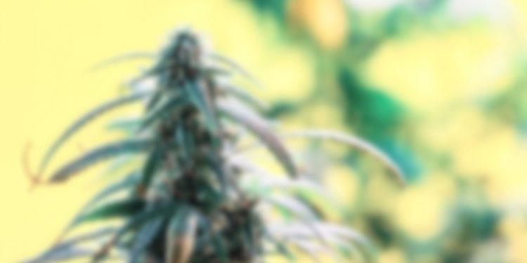 Blurry cannabis flower