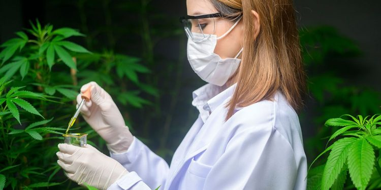 Cannabis scientist working with the plant