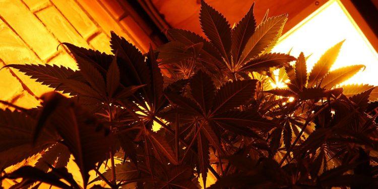 Dark orange photo of a cannabis plant under a light