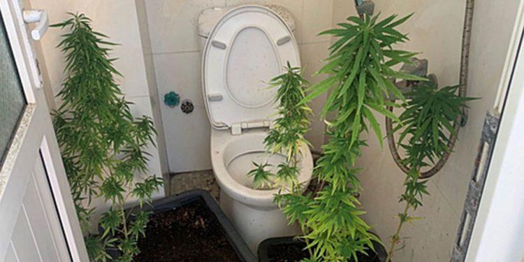Cannabis plants in a bathroom